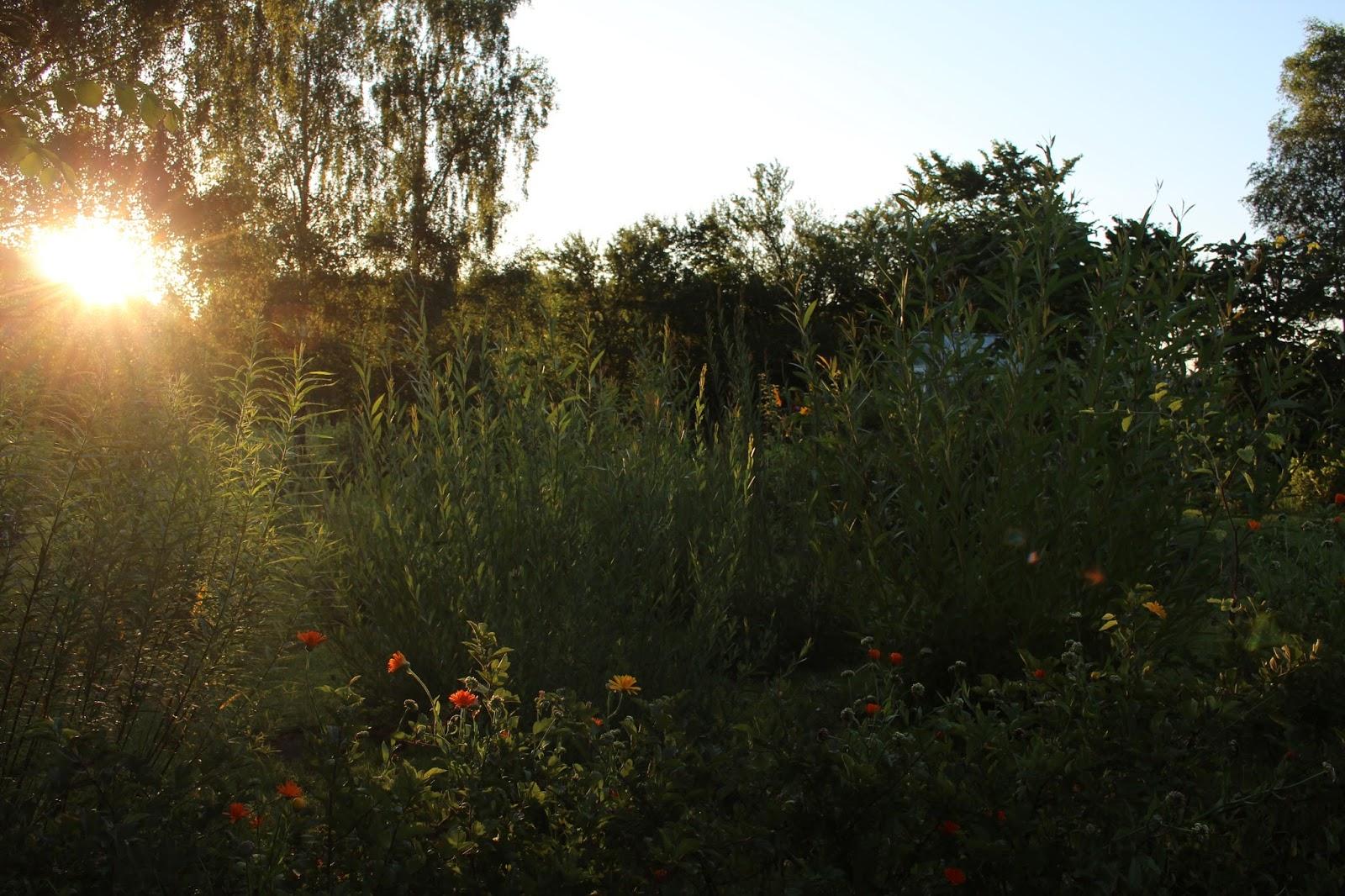 Anettesflora: sådan lidt som amors pil....