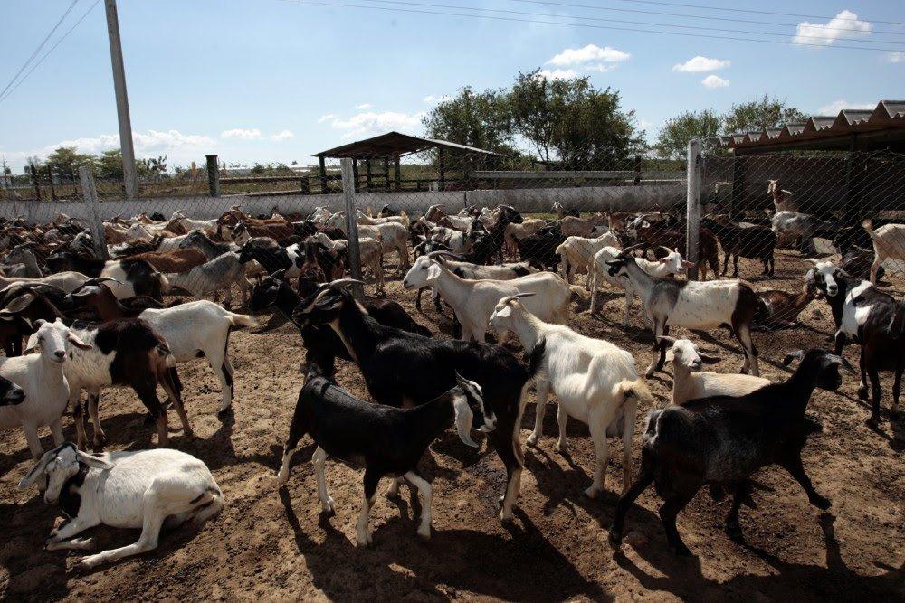 How To Start Goat Farming In Kenya (Best Guide) | Deluxe Africa