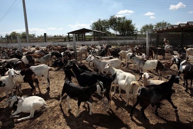 How To Start Goat Farming In Kenya (Best Guide)