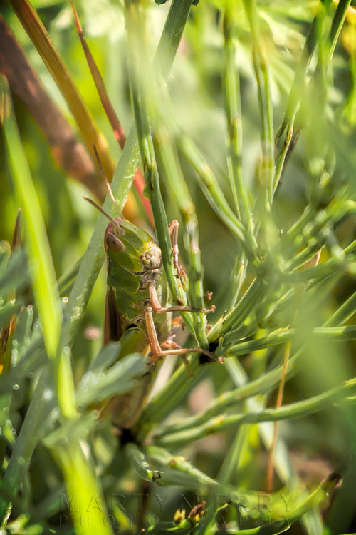 Close up image of a meadow grasshopper at Ouse Fen Nature Reserve