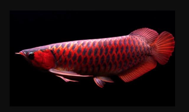 Supplier Jual Bibit Ikan Arwana Boyolali Paling Top