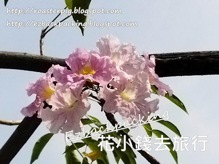 荔枝角洋紅風鈴木