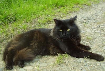Jenis Ras Kucing New Zealand