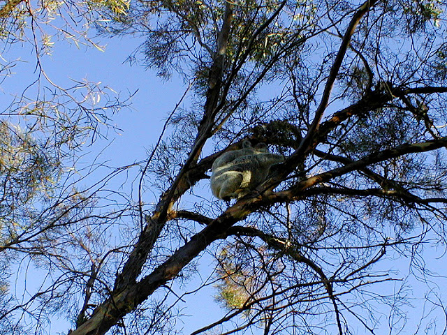 Koala mother and baby in a melaleuca tree in a garden, Pittsworth, Queensland, Australia. Photographed by Susan Walter. Tour the Loire Valley with a classic car and a private guide.