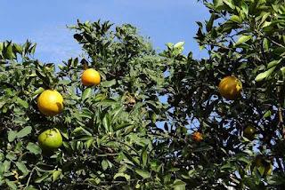 Orange (Malta) fruit crop Guidelines for Ambia bahar 4