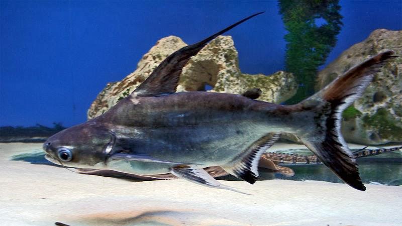 Akvaryum challenger balığı hakkında bilgi