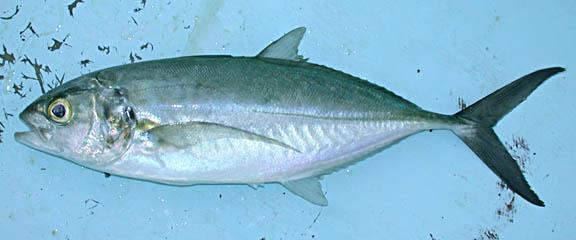 Fish Identification Green Jack Blue Runner Bluestripe
