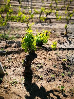 vigne alberello mamoiada