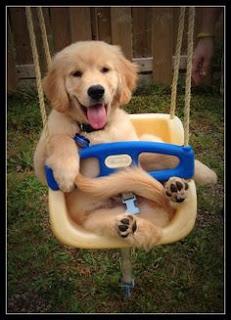 golden retriever puppy, golden retriever smiling, dog smiling, dog at playground, dog park, happy dogs