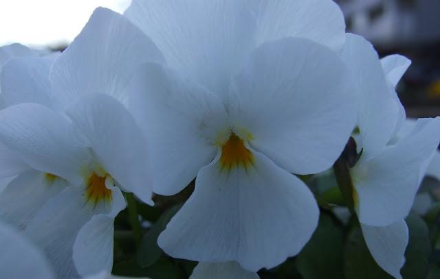 白い花のビオラ