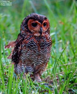 burung hantu spotted wood owl, jenis burung hantu yang sulit dipelihara