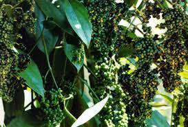 cara mengatasi hama tanaman lada,penyakit tanaman lada, hama tanaman lada, obat hama tanaman lada, hama buah lada, hama tanaman lada, hama penggerek batang, hama bunga lada, hama dan penyakit tanaman,