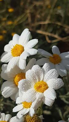 زهرة الاقحوان