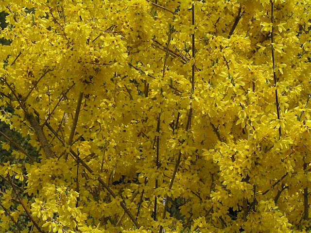 CAN YOU CUT FORSYTHIA TO THE GROUND?