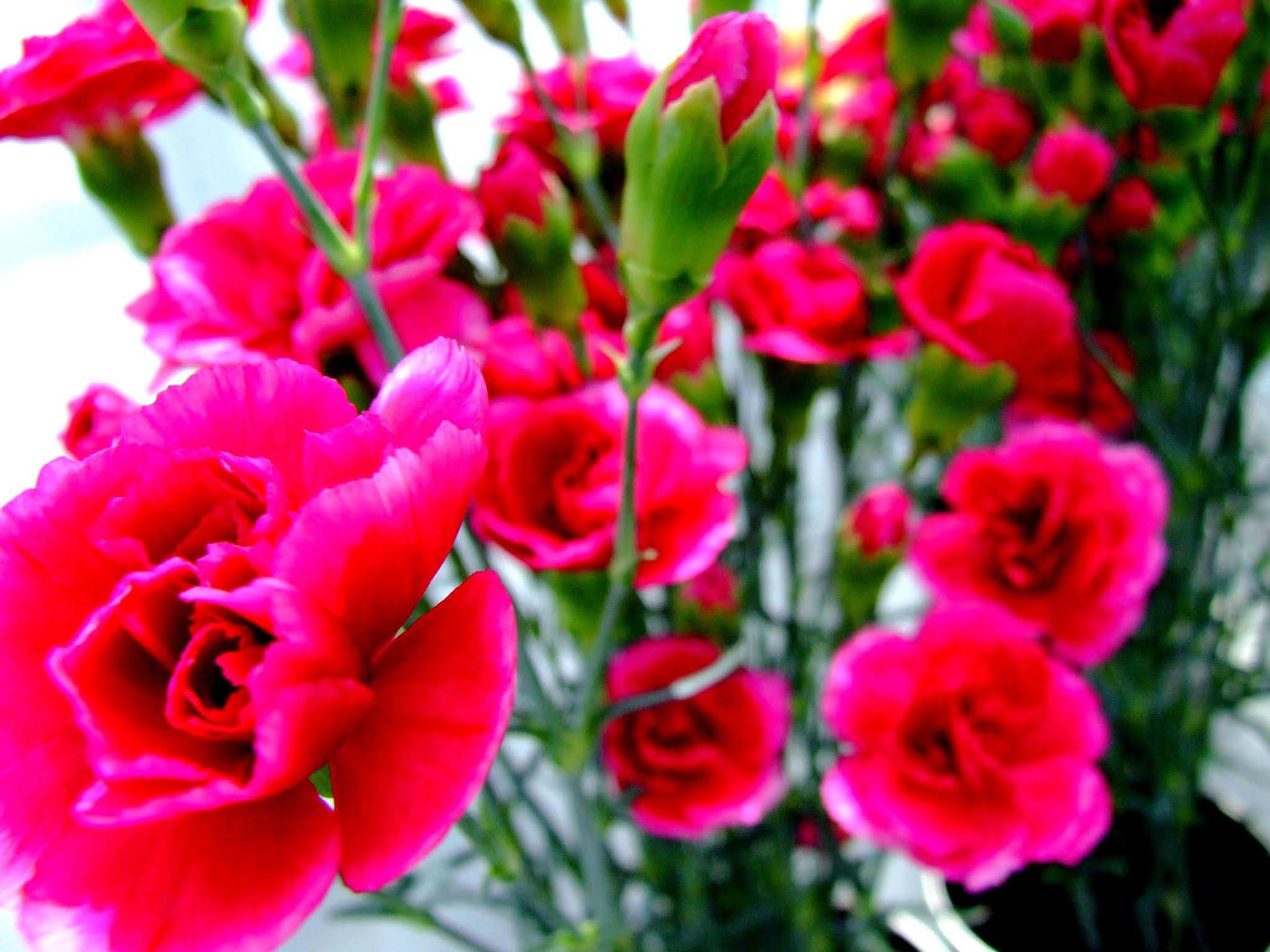 ビビットな赤が可愛らしい、カーネーションの花束の写真素材です。母の日のアイキャッチなどにおすすめですよ。