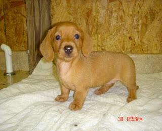 Cute Puppy Dogs Brown Dachshund Puppy