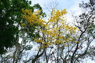 Yellow Flowering Tree at Rio Viejo, Puriscal