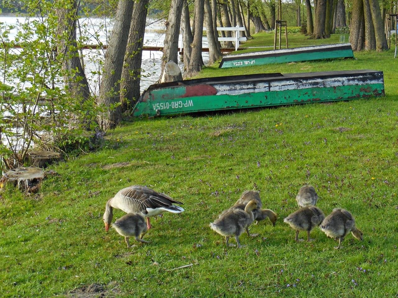 gęsi, gąski, łodzie, jezioro, przyroda, ptaki