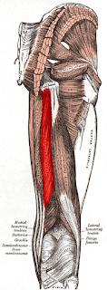 semitendinosus muscle, anatomy, muscle picture