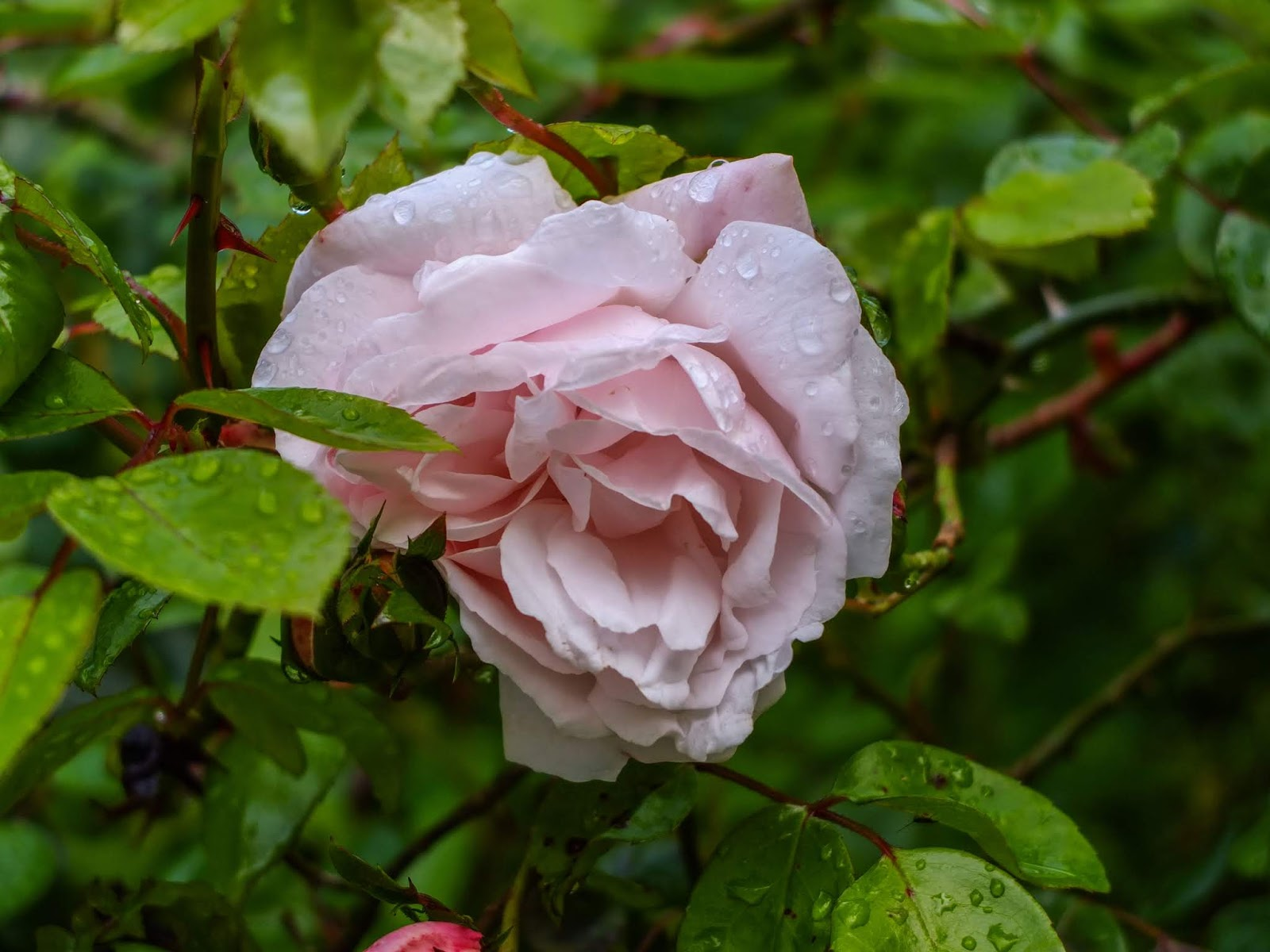 A light pink rose surrounded by green leaves and covered in water droplets.