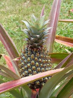 Ananas non idenfifiés - Ananas divers