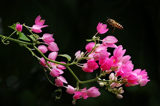 Hình ảnh đẹp của loài hoa tigon