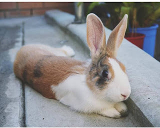Max, a tri-colour Dutch bunny (black, white and orange) reclining on a concrete path.