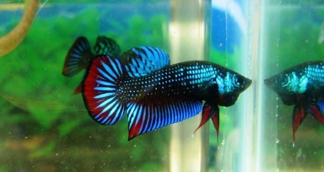 Jenis Ikan Cupang Plakat atau Aduan Terganas dan Gambarnya