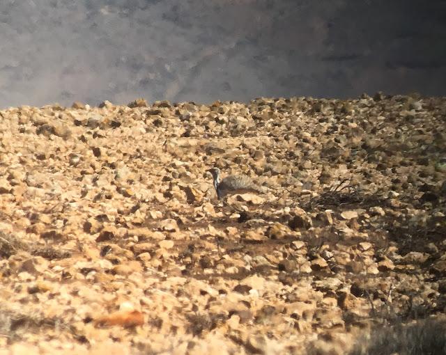 Houbara Bustard - Embalse de los Molinos, Fuerteventura