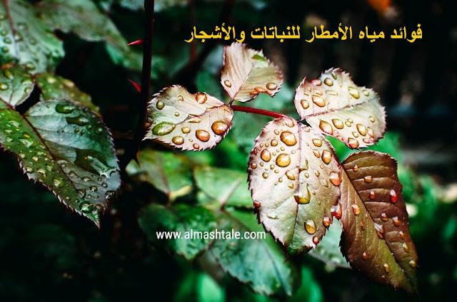 فوائد مياه المطر للنباتات والأشجار