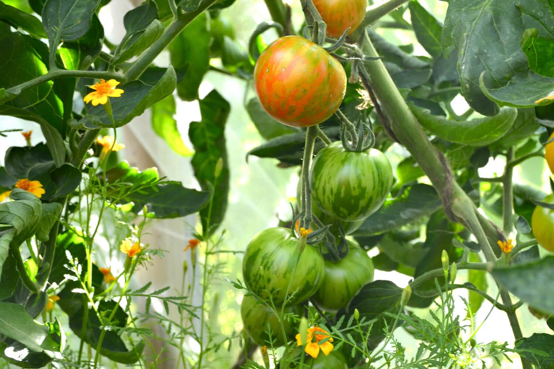 tomaatin-esikasvatus-tigerella