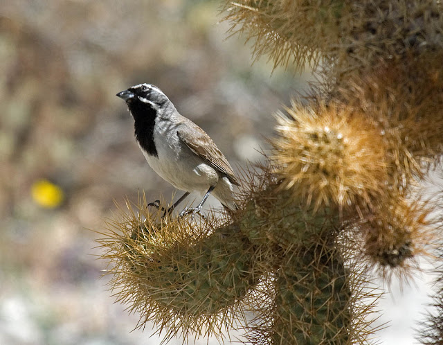 Black-throated Sparrow in cholla Anza-Borrego Desert.
