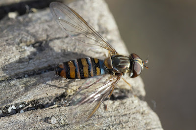 Dobbeltbåndet svirreflue Lat: Episyrphus balteatus
