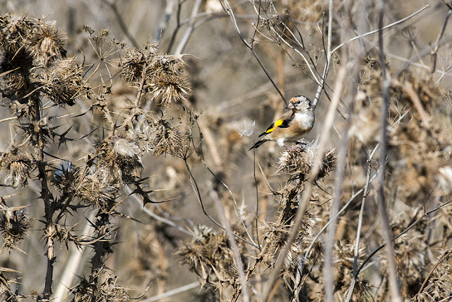 Young Goldfinch, keeping autumn going!