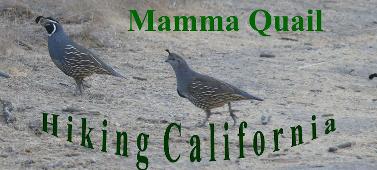 Mamma Quail Hiking California