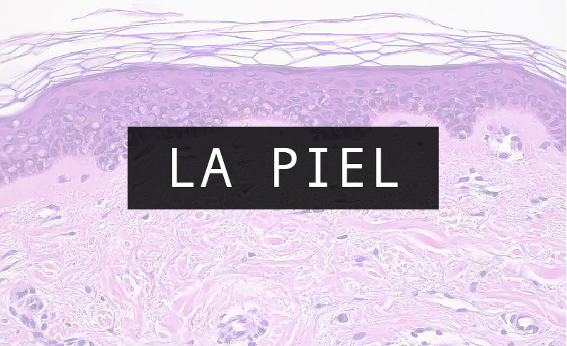 Introducción a la Piel : generalidades, anatomía y estructura ...