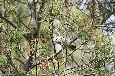 Mosquiter pàl·lid (Phylloscopus bonelli)
