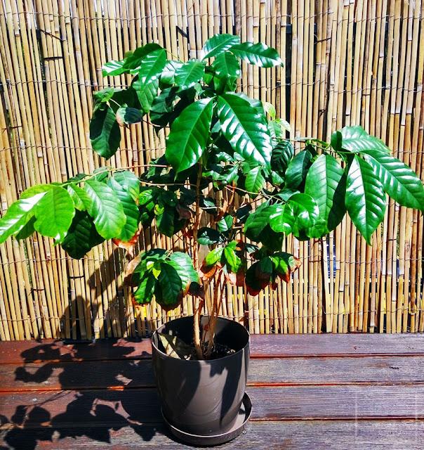 Kawa arabska (Coffea arabica) - aktualizacja, jak wygląda sadzonka kawy uprawiana w domu, czemu kawa nie kwitnie?