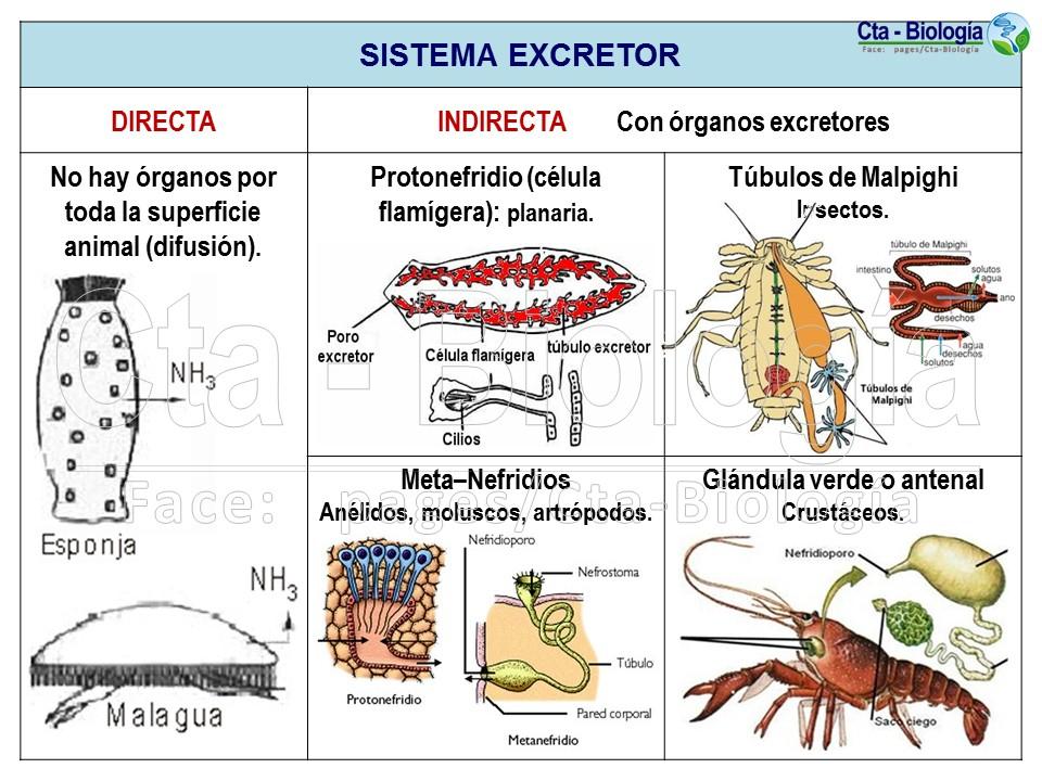 Biología didáctica: Ingeniería Sem. BIO 12 - Circulación y..