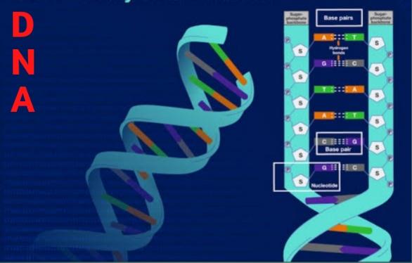 DNA, deoxyribonucleic acid