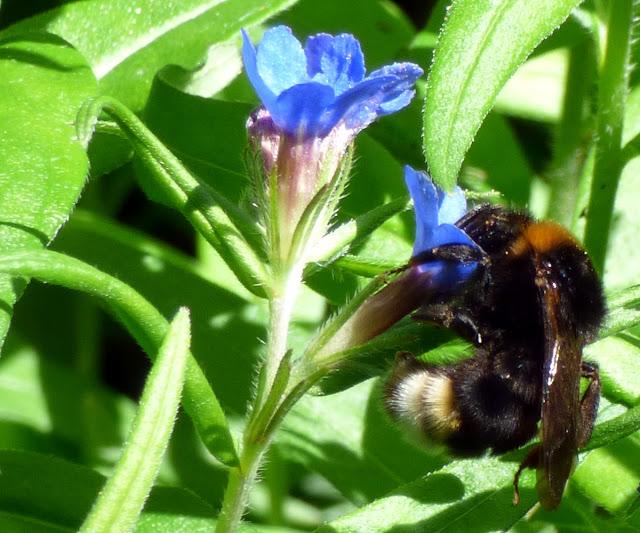 Flori Albastre Salbatice Padure Macin meisor albastru (Lithospermum purpureo-coeruleum) bondar
