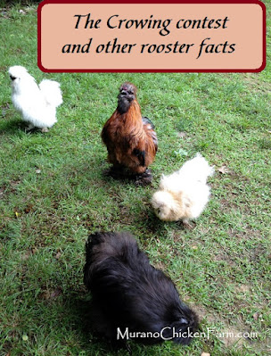 Silkie roosters crowing: Brown, white and black.