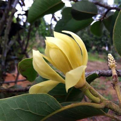 จำปีรัชนี (จำปีหลวง) Magnolia rajaniana ไม้ดอกหอมพื้นเมืองถิ่นเดียวของไทย