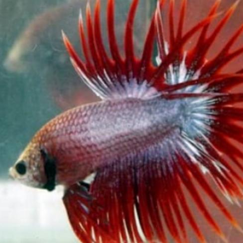 Ikan cupang crown tail