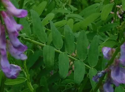 クサフジの葉