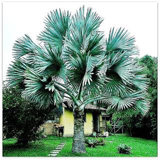 Palmeira na Granja Lia, Lami, Porto Alegre
