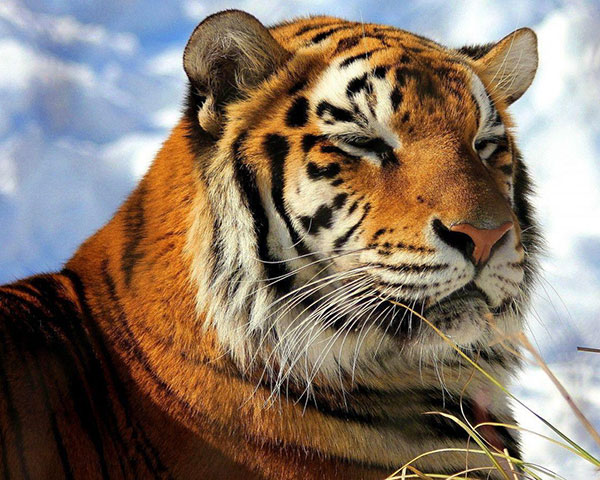 बाघ इमेज डाउनलोड  lion tiger ka photo