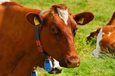 ide bisnis tulang sapi yang paling menguntungkan