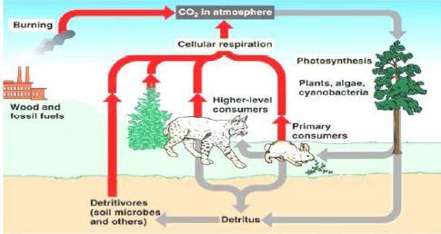 Gambar Siklus karbon, Sumber: york.conroeisd.net