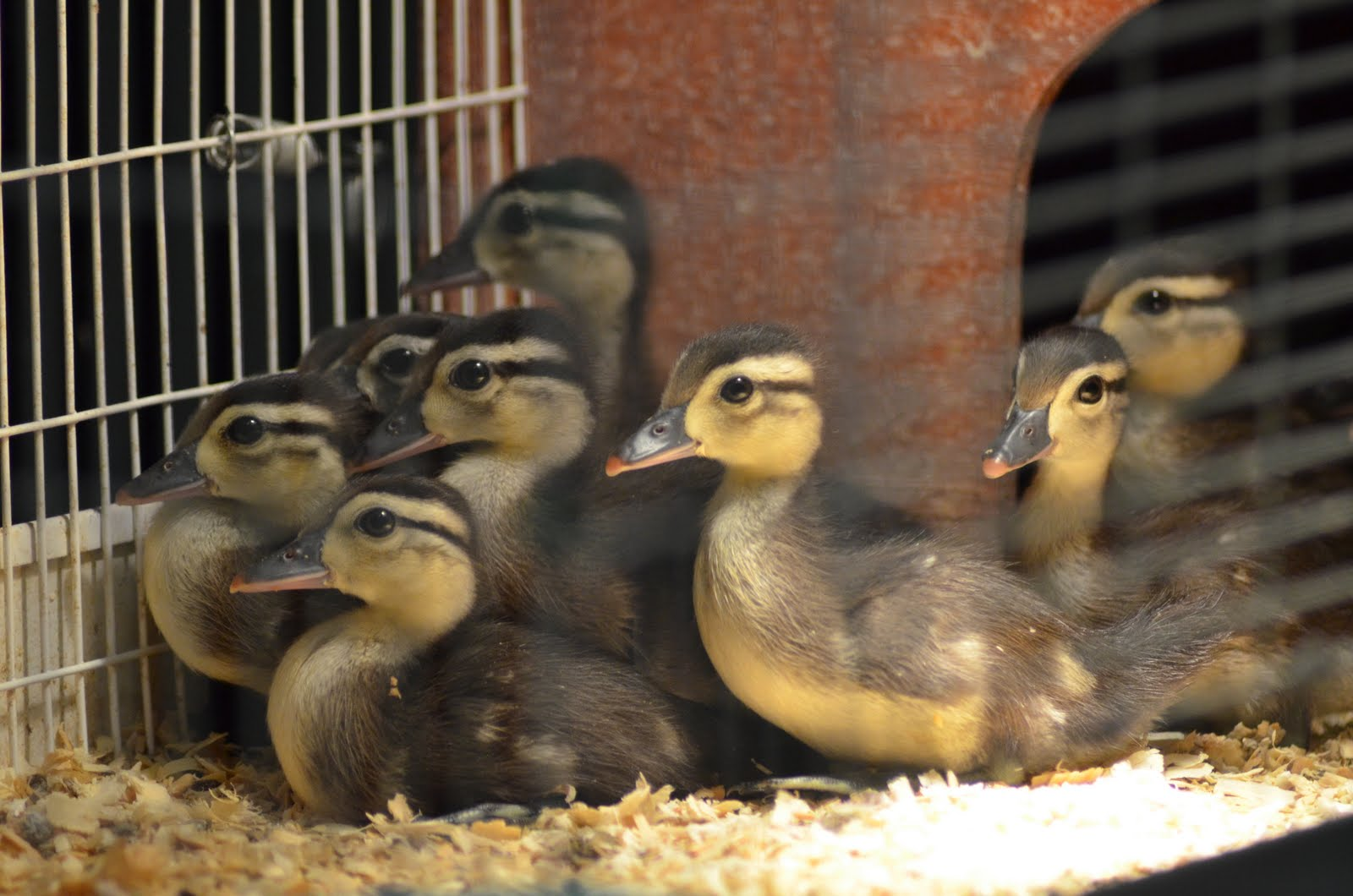 Cakes Amp Canines Baby Wood Ducks 10 Days Old